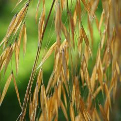 Giant oat grass glistens in low sunlight